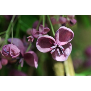 Akebia pięciolistkowa - Czekoladowe pnącze - sadzonka