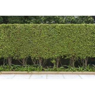 Śliwa wiśniowa - Ałycza -  duża sadzonka