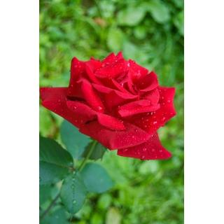 Róża wielkokwiatowa czerwona - sadzonka