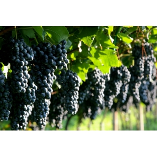 Winogrona ciemne, winorośl - Marechal Foch - sadzonka