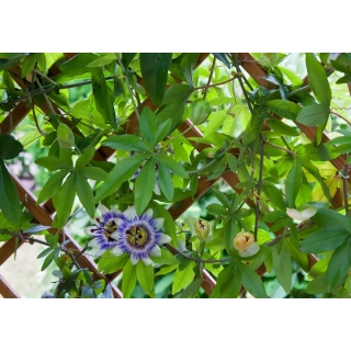 Męczennica błękitna - Passiflora Caerulea - sadzonka