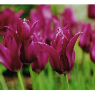 Tulipan Burgundy - 5 szt.
