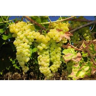 Winogrona jasne, winorośl - Solaris - sadzonka