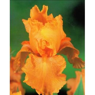Kosaciec, Irys - Pomarańczowy