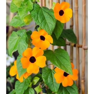 Tunbergia pomarańczowa