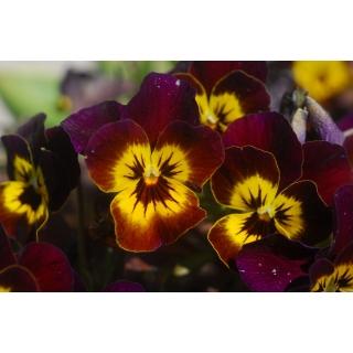 Bratek wielkokwiatowy - brązowy z żółtą plamą