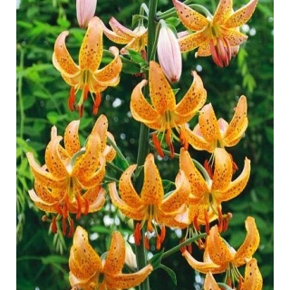 Lilia złotogłów żółta - Yellow