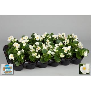 Begonia stale kwitnąca w doniczce - biała - sadzonka 10 cm