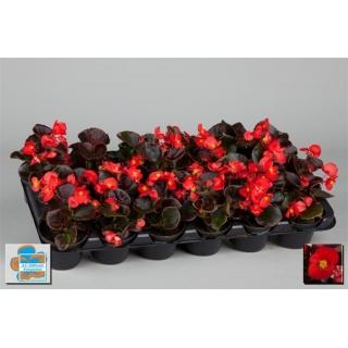 Begonia stale kwitnąca w doniczce - czerwona, ciemny liść - sadzonka 10 cm