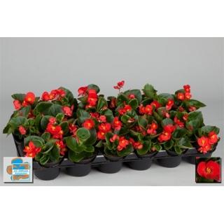 Begonia stale kwitnąca w doniczce - czerwona - sadzonka 10 cm