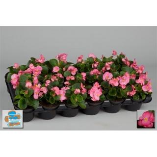 Begonia stale kwitnąca w doniczce - różowa - sadzonka 10 cm