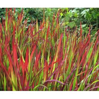 Imperata cylindryczna Red Baron - Imperata Cylindrica - trawy ozdobne - sadzonka