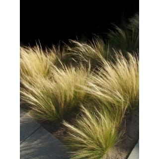 Ostnica mocna Pony Tails - Stipa - trawy ozdobne - sadzonka