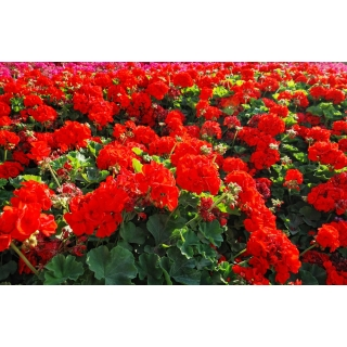 Pelargonia czerwona sadzonka