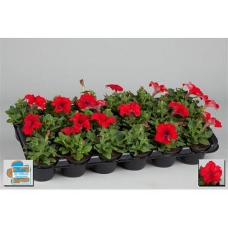 Petunia w doniczce - czerwona - sadzonka 15 cm