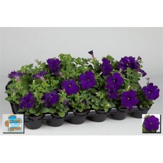 Petunia w doniczce - niebieska - sadzonka 15 cm