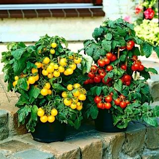 Pomidor doniczkowy zwisający nasiona
