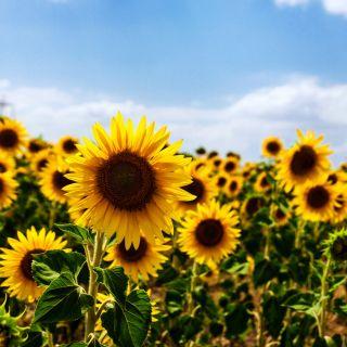 Słonecznik ogrodowy - jadalny