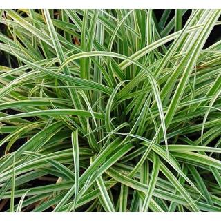 Turzyca japońska Silver sceptre - Carex morrowii - trawy ozdobne - sadzonka