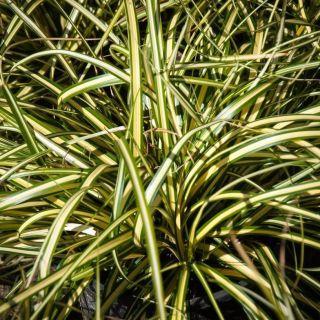 Turzyca oszimska sadzonka