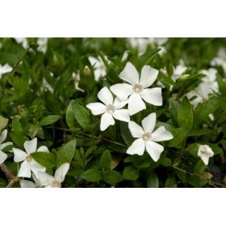 Barwinek pospolity - Gertrude Jekyll - białe kwiaty, zimozielony - sadzonka