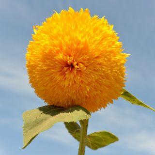 Słonecznik ozdobny wysoki pełny