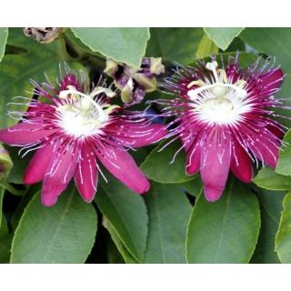 Męczennica różowa, Marakuja - Passiflora Victoria - sadzonka