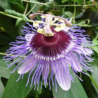 Męczennica fioletowa, Marakuja - Passiflora Purple Haze - sadzonka