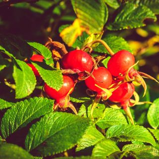 Róża pomarszczona - Moje Hemmarberg - odporna, kwitnie i owocuje - sadzonka