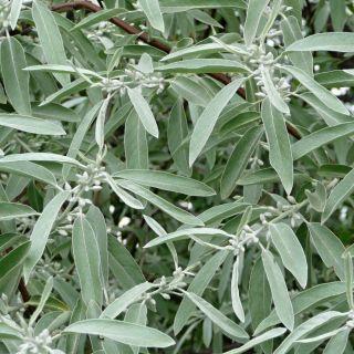 Oliwnik wąskolistny - srebrzysty, piękny i miododajny - sadzonka