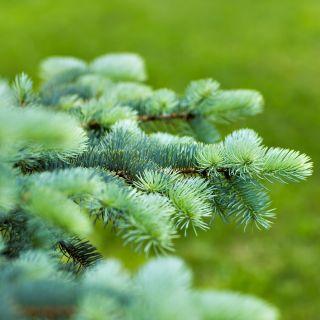 Daglezja glauca - gęste, zielononiebieskawe igły!