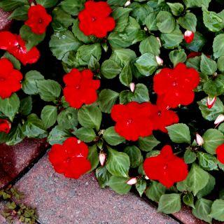 Niecierpek Waleriana - czerwony