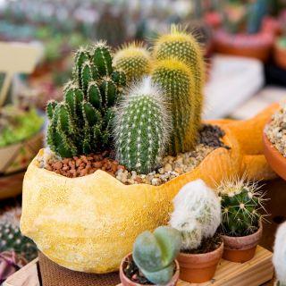 Kaktusy - mieszanka gatunków