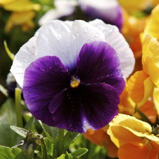Bratek wielkokwiatowy - fioletowo-biały Lord Beaconsfield