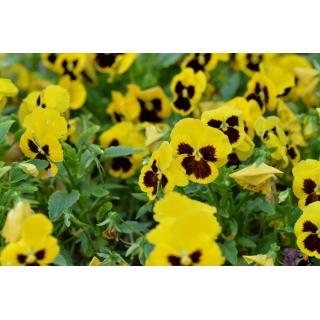 Bratek wielkokwiatowy - żółty z czarną plamą