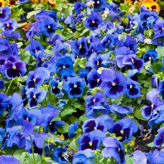 Bratek wielkokwiatowy - niebieski z czarną plamą