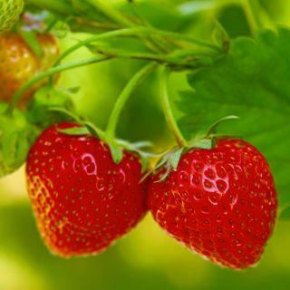 Truskawka Tresca - bardzo długo owocująca!