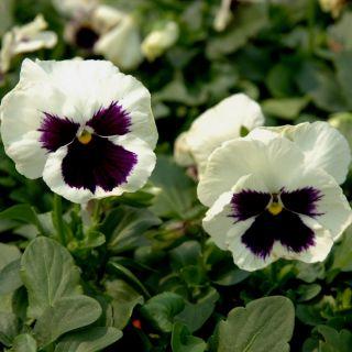Bratek wielkokwiatowy - biało-czarny Silverbride, Silberbraut