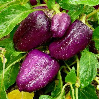 Papryka Oda - słodka do uprawy w gruncie