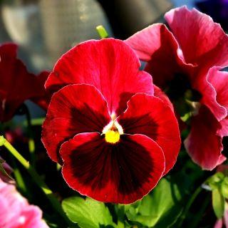 Bratek wielkokwiatowy - czerwony z czarną plamą