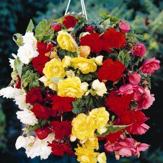 Begonia zwisająca - mix kolorów - 2 szt.