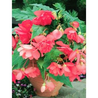 Begonia zwisająca - różowa - 2 szt.