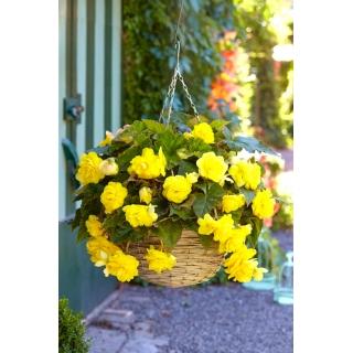 Begonia zwisająca - żółta - 2 szt.