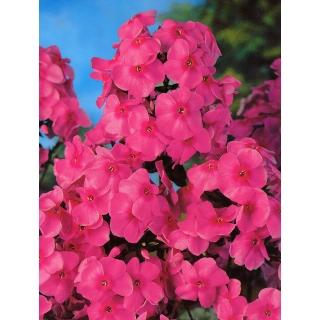Floks (Phlox) - Płomyk wiechowaty - różowy - 1 szt.