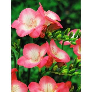 Frezja pojedyncza różowa - Pink - 10 szt.