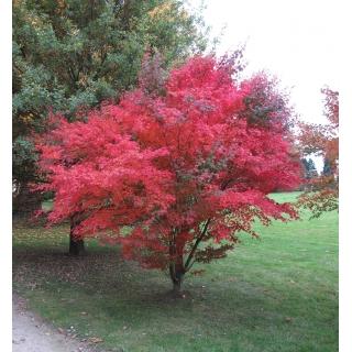 Czerwony klon palmowy - Atropurpureum - duża sadzonka