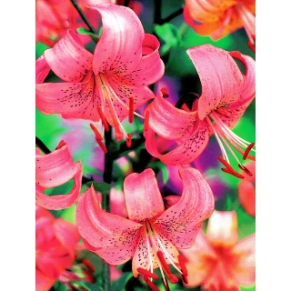 Lilia tygrysia - Pink Tiger