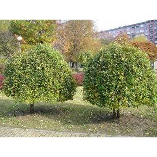 Wierzba Iwa - forma pienna - duża sadzonka