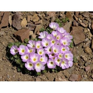 Szczawik chilijski - Oxalis Adenophylla - 5 szt.