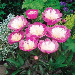 Piwonia, Paeonia - Bowl of Beauty - sadzonka